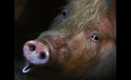 Bersekutu Dengan Ratu Siluman Babi